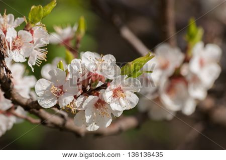 White spring flowers blossoming on the branch. Branch of a blossoming tree with beautiful white flowers, close up.
