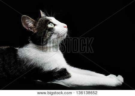 beautiful calm dreaming cat lies on a black background