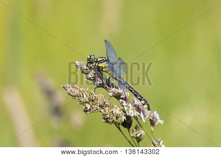 a green dragonfly sits on a grass on a meadow on a Sunny summer day