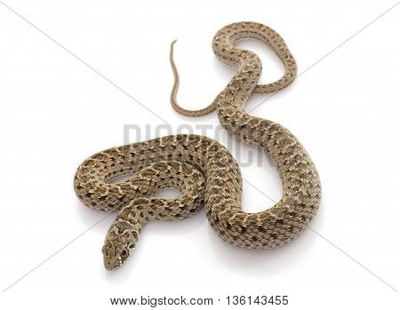 Montpellier snake in front of white background