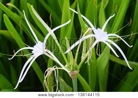 Crinum Lily in the garden,Beautiful flower in thailand