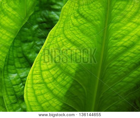 Skunk cabbage leaves in spring green plant