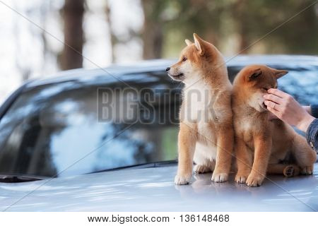 two beautiful shiba inu dog on a car in outdoor
