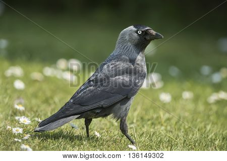 Jackdaw, Corvus Monedula, On The Grass, Close Up