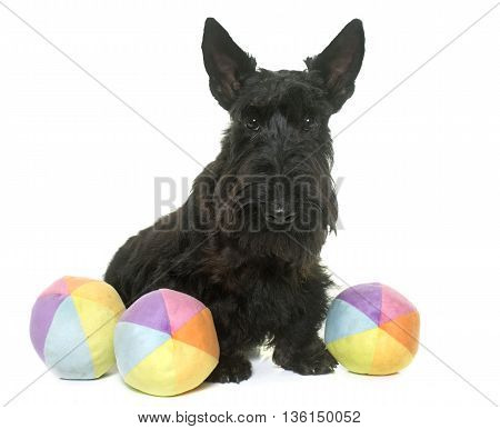 puppy scottish terrier in front of white background