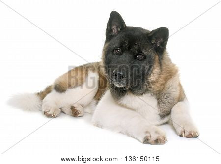 american akita in front of white background