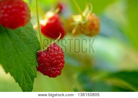Close-up Image of Red Ripe Raspberries Growing in the Garden