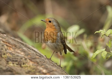 Robin Redbreast, Erithacus Rubecula, Perched On A Tree Trunk