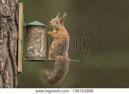 Red Squirrel, Sciurus Vulgaris, On A Squirrel Feeder