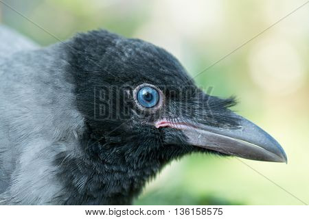 Portrait of a gray crow. Hooded Crow, Corvus cornix is a Eurasian bird species in the crow genus