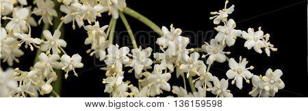 The flowers of elder isolated on black background, are used most often medicinally. Elder.