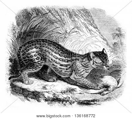 The ocelot, vintage engraved illustration. Magasin Pittoresque 1836.