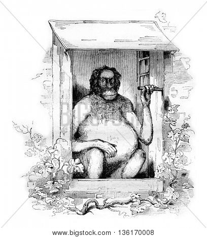 The new orangutan of the Natural History Museum, vintage engraved illustration. Magasin Pittoresque 1836.