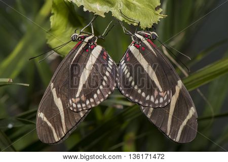 Zebra Longwing, Butterfly On A Leaf, Coupling