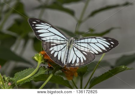 Common Wanderer butterfly on a leaf with open wings
