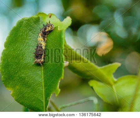 Black worm on the leaves lemon tree
