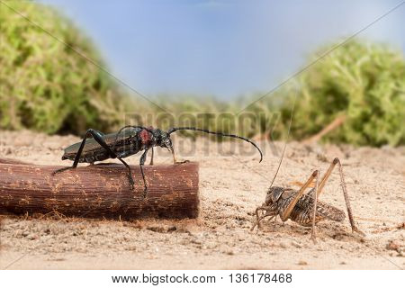 closeup Longhorn beetle (Aromia moschata) is sitting on a twig and grasshopper on the sandy soil of semideserts on sky background