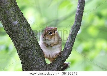 Brown chipmunk sitting on tree branch in woods