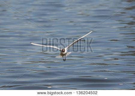 White seagull in flight over blue water