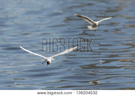 Two seagulls in flight over blue water