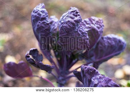 Plants of cabbage. Large leaves of cabbage heads create a unified background from the cabbage.