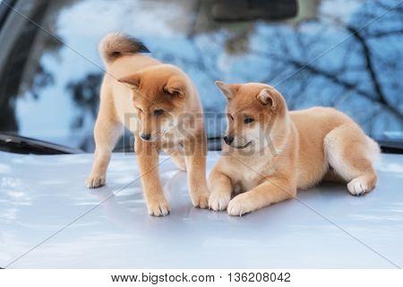 two beutiful shiba inu dog on a car in outdoor