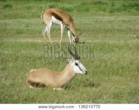 Spring buck, Koeberg Nature Reserve Cape Town South Africa