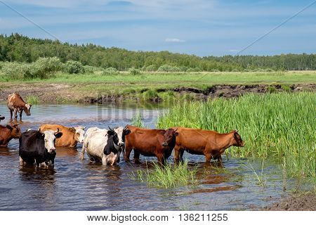 Cows Crossing The River On A Summer Day