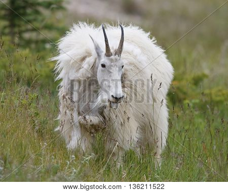 A Mountain Goat (Oreamnos americanus) shedding its winter coat browses in an alpine meadow in late spring- Jasper National Park Alberta Canada poster