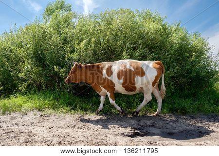 White Red Cow Near The Green Bush