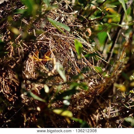 Chicks of chiffchaff birds in the nest waiting to eat