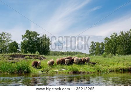 Young Sheep On The Riverside