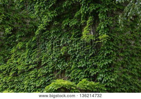 Old wall entwined with leaves