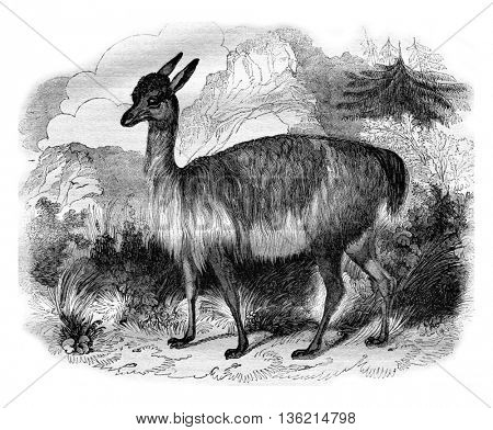 The Vicuna, vintage engraved illustration. Magasin Pittoresque 1836.