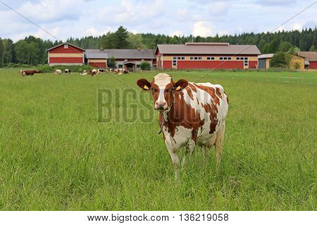 Cow standing on a green grass field with more cows and farmstead on the background. Shallow depth of field.