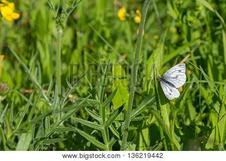 Green-veined white butterfly (Pieris napi) pearching on green grass in the summer meadow in Austria, Europe