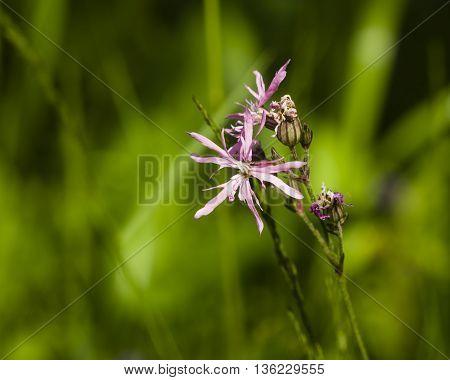 Ragged-Robin Lychnis flos-cuculi flower macro on bokeh background selective focus shallow DOF