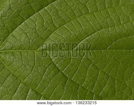 expressive and plastic texture of green leaf