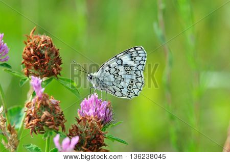 Marbled White butterfly. The marbled white (Melanargia galathea) is a butterfly in the family Nymphalidae.