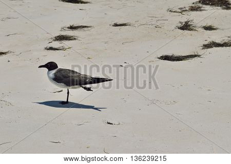 Laughing gull (Larus Atricilla) on the beach at Honeymoon Island State Park, in Dunedin,