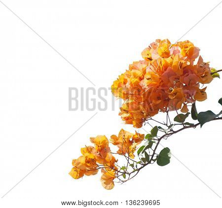Blooming orange bougainvilleas isolated on white background