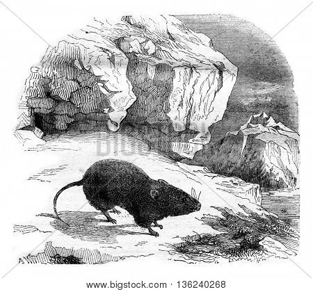 The Vole merges, Arvicola nivalis, recently discovered in the high Alps, vintage engraved illustration. Magasin Pittoresque 1843.