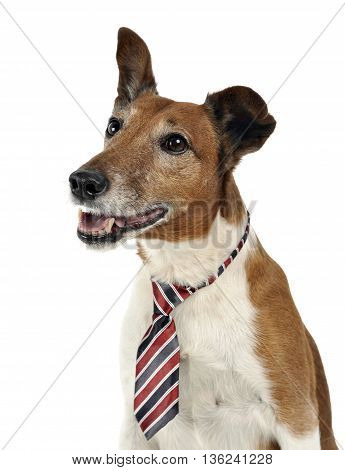 Jack Russell Terier in tie in white photo studio
