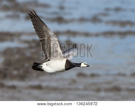 Barnacle goose (Branta leucopsis) in flight with its habitat in the background
