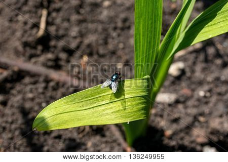 Calliphoridae sitting on the big green leaf