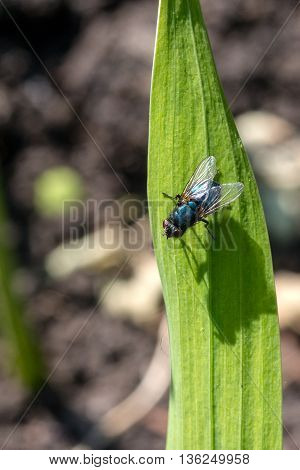 fly Calliphoridae sitting on the green leaf