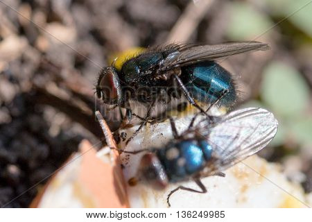 two fly Calliphoridae eat on the ground