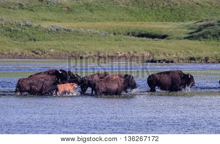 a herd of buffalo run in a stream