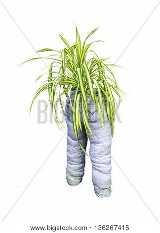 Green plant with old blue jeans isolated on white background