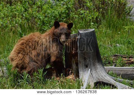 a black bear stares into the camera